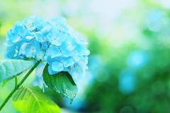 西林寺の紫陽花【2017年7月】