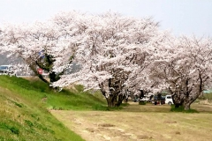 黒田庄の桜【2019年4月】