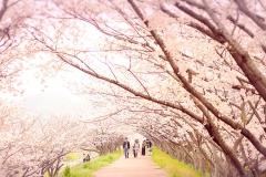 姫路市夢前の桜並木【2017年4月】