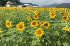 佐用町南光ひまわり畑【2017年8月】
